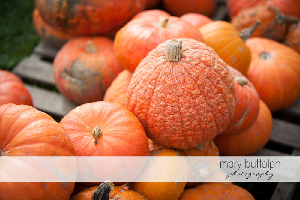 Pumpkins in all shapes and sizes at Tim's Pumpkin Patch