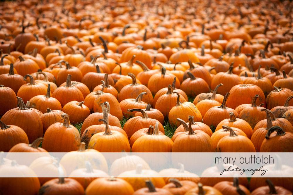 Field of pumpkins at Tim's Pumpkin Patch
