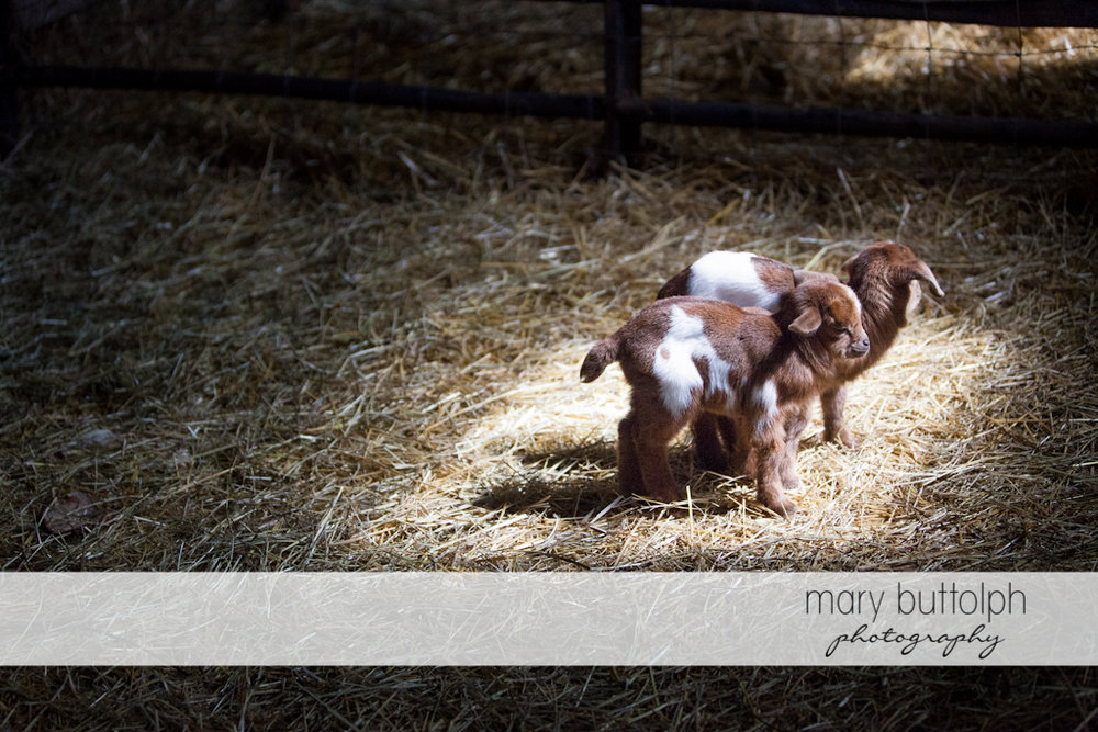 Cute baby goats in the barn at Tim's Pumpkin Patch