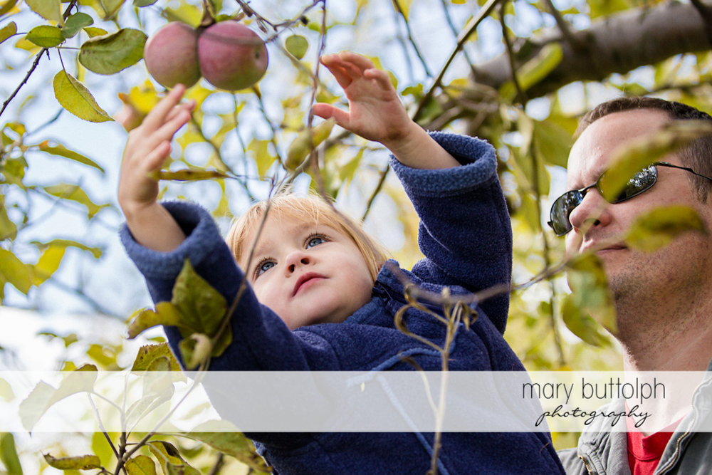 Girl reaches for an apple with a little help from her dad at Beak & Skiff Apple Orchards