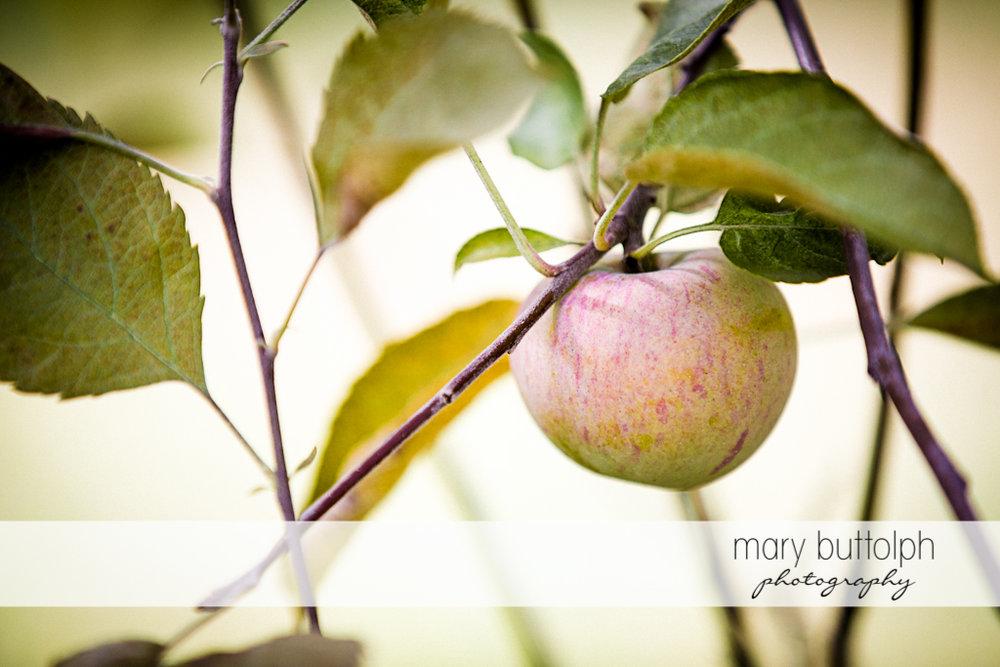 Close up shot of apple at Beak & Skiff Apple Orchards
