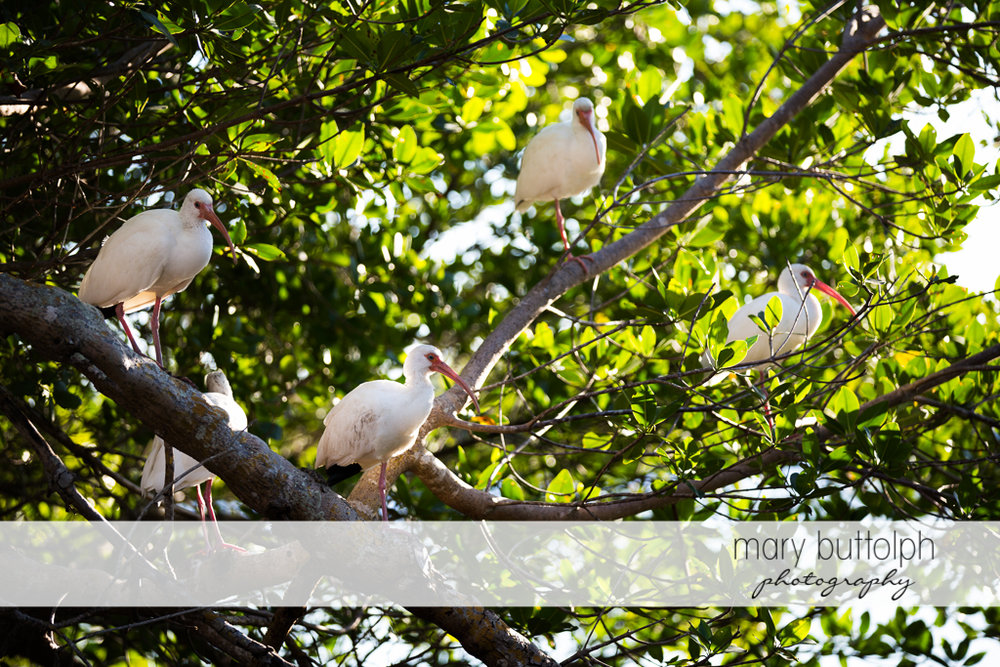Long beak white birds perch on trees at Sanibel Island Vacation