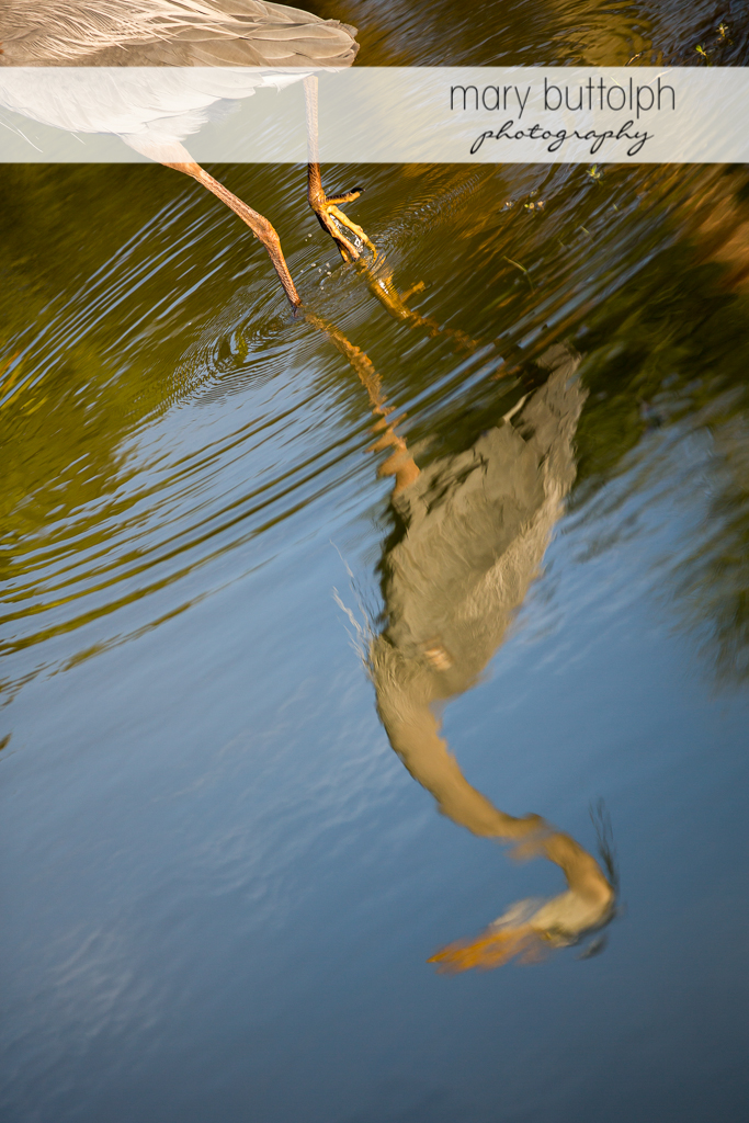 Close up shot of heron's feet in the water at Sanibel Island Vacation