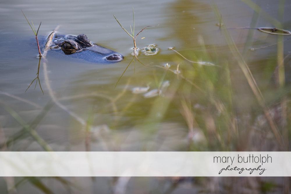 Alligator in the lake at Sanibel Island Vacation