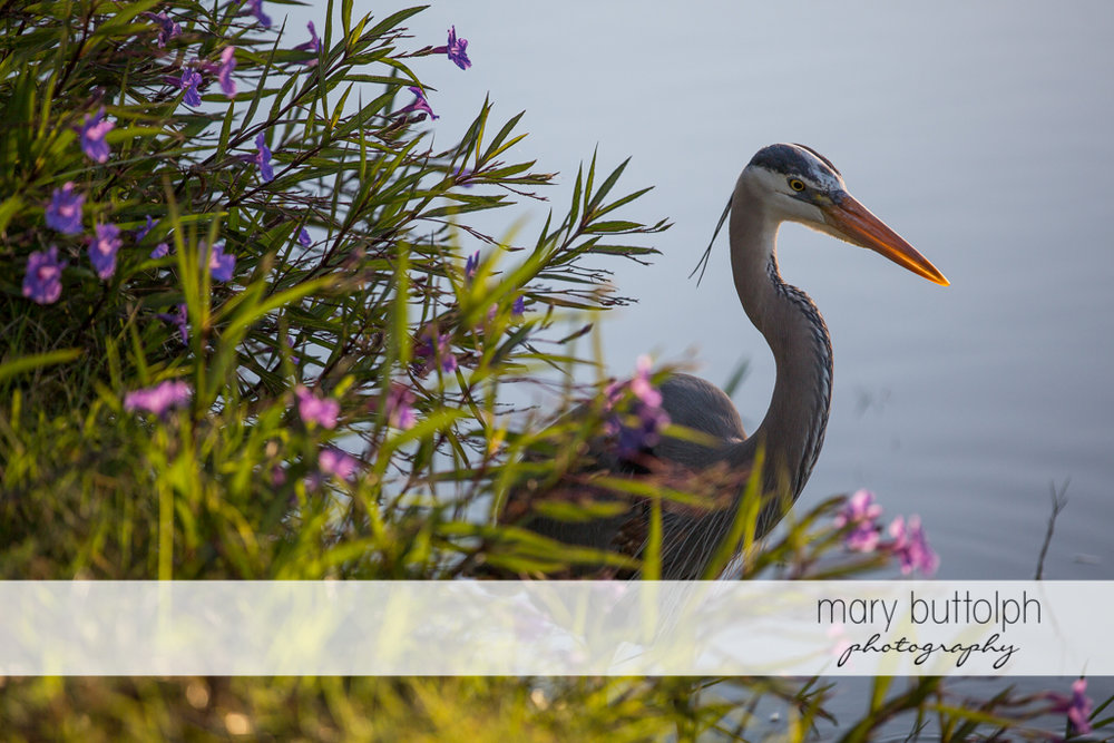 Heron takes a dip in the water at Sanibel Island Vacation