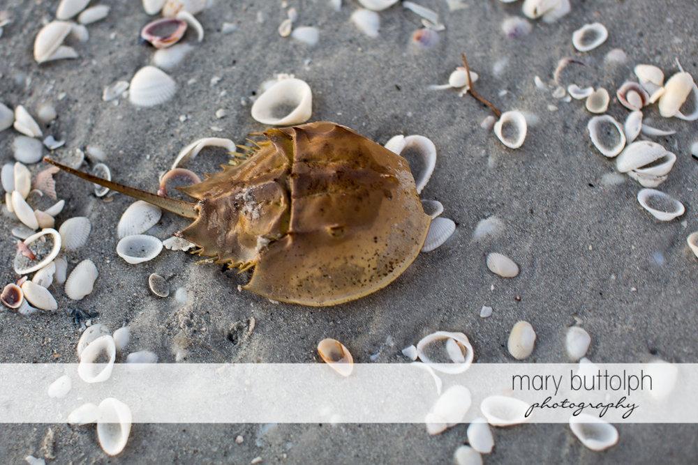 Sea creature on the beach at Sanibel Island Vacation