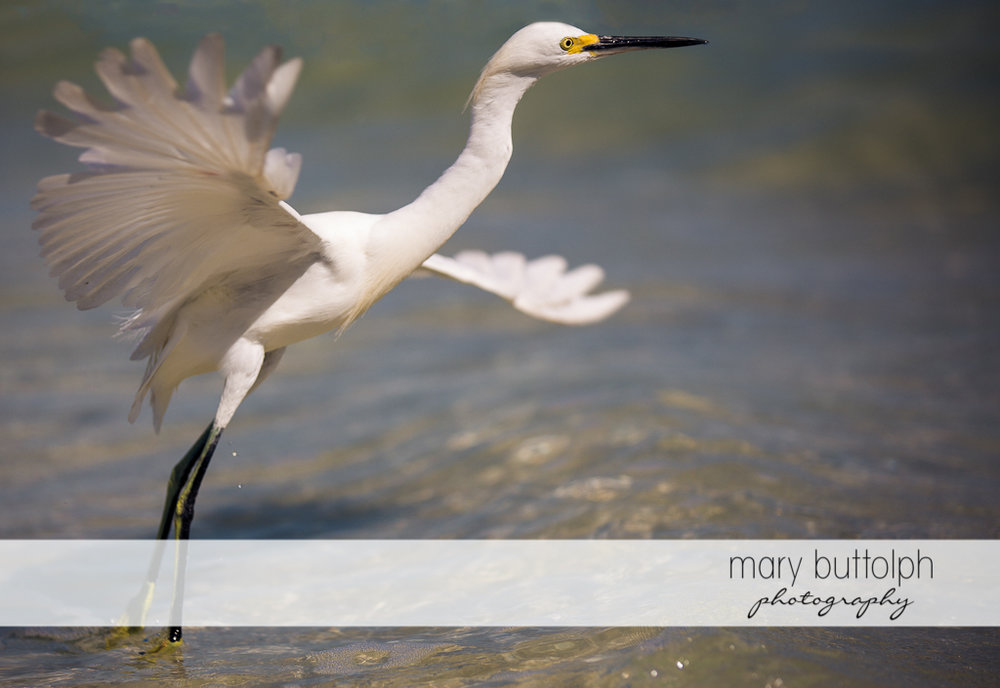 Heron flies over the waters at Sanibel Island Vacation