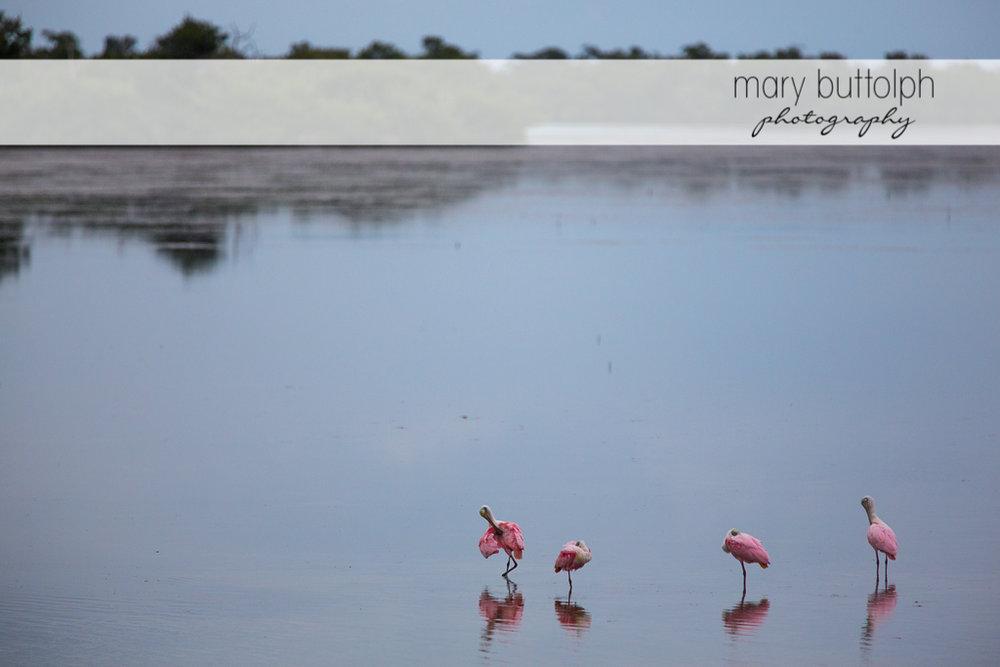 Pink birds on the beach at Sanibel Island Vacation