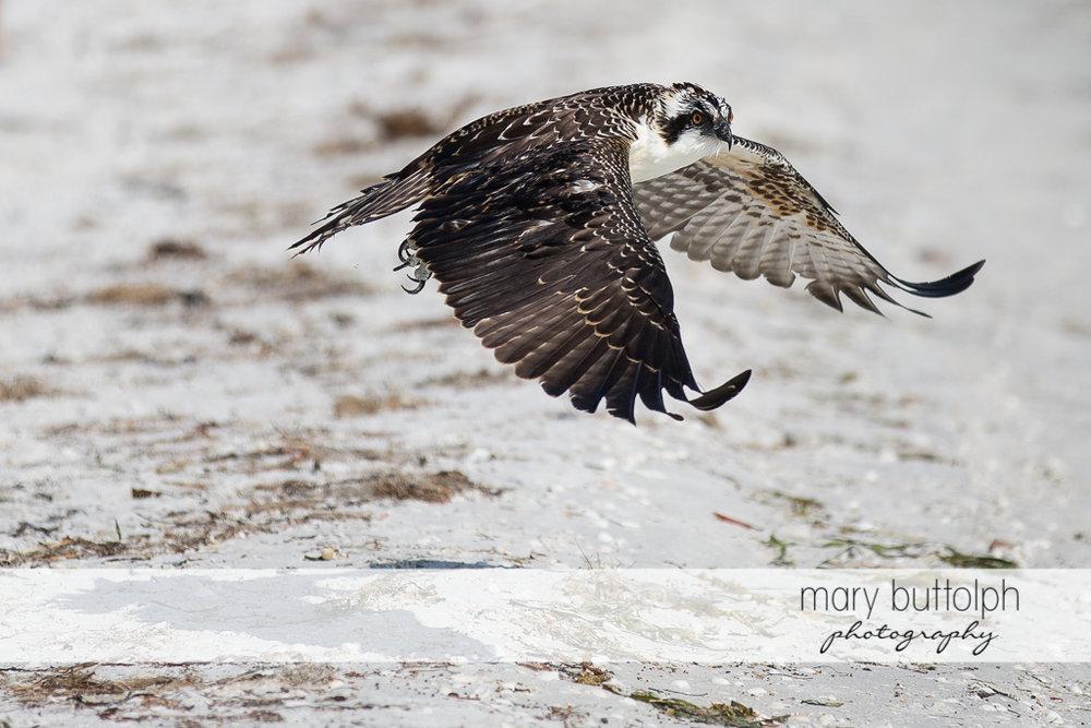 Hawk surveys the shore at Sanibel Island Vacation