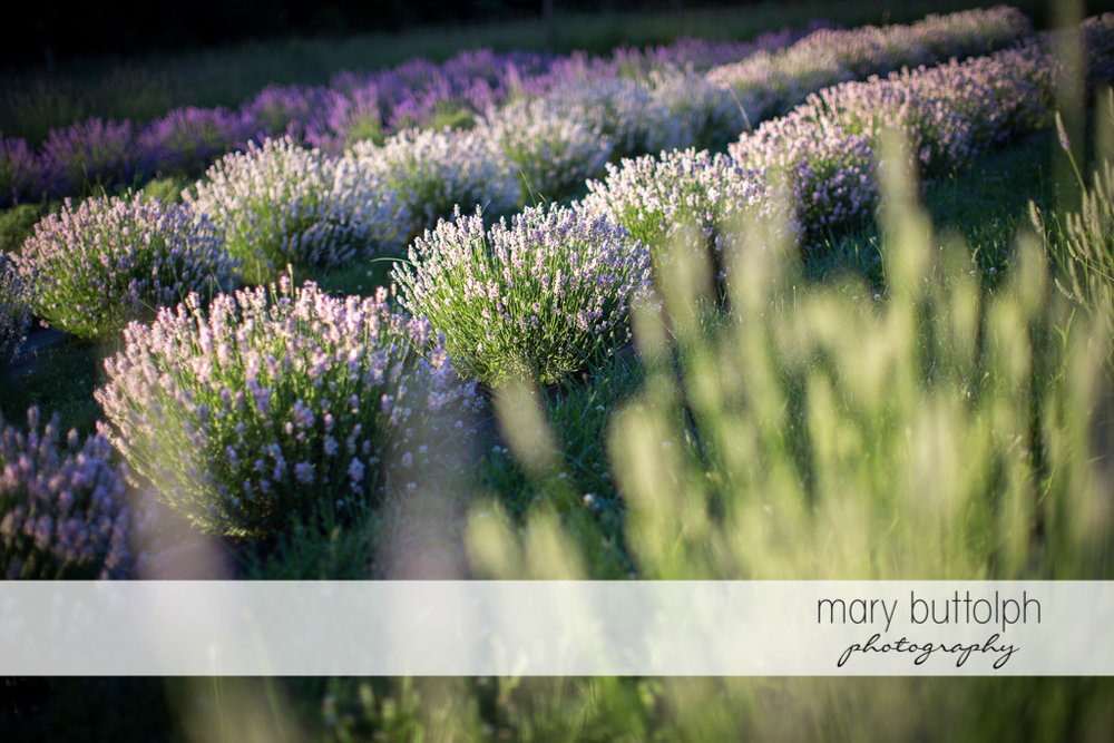 Lavenders grow in the field at Lockwood Lavender Farm Engagement