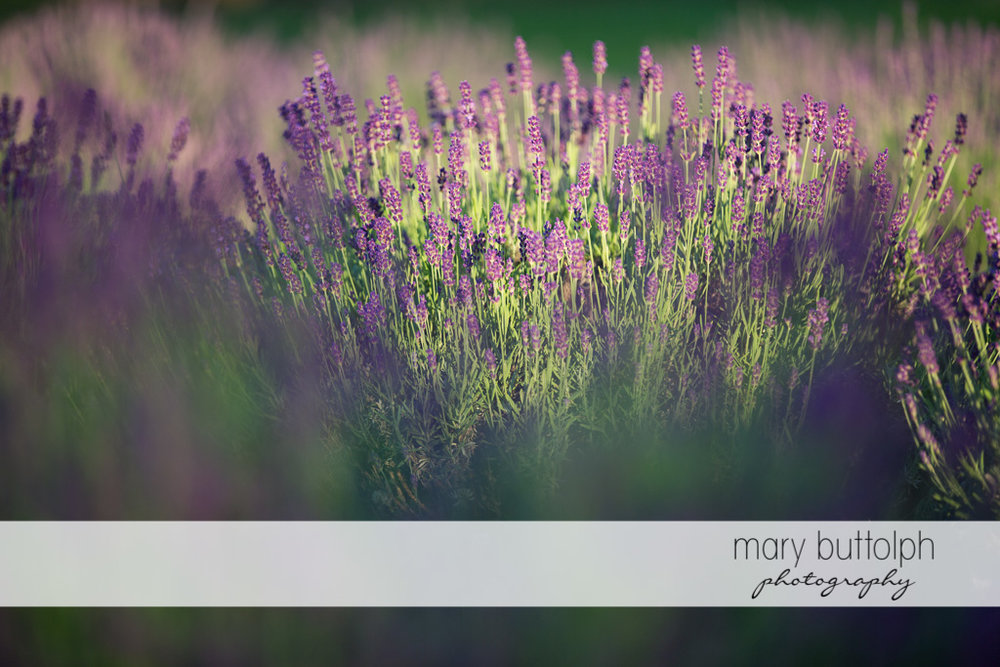 Lavenders fill the field at Lockwood Lavender Farm Engagement