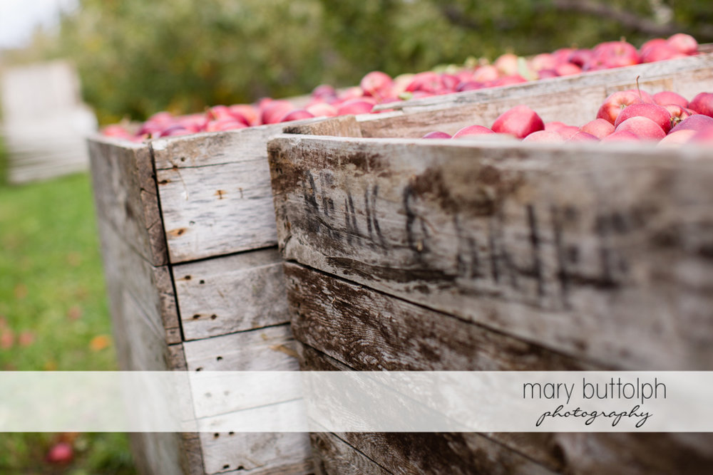 Crates with apples in the garden at Beak & Skiff Apple Orchards Engagement