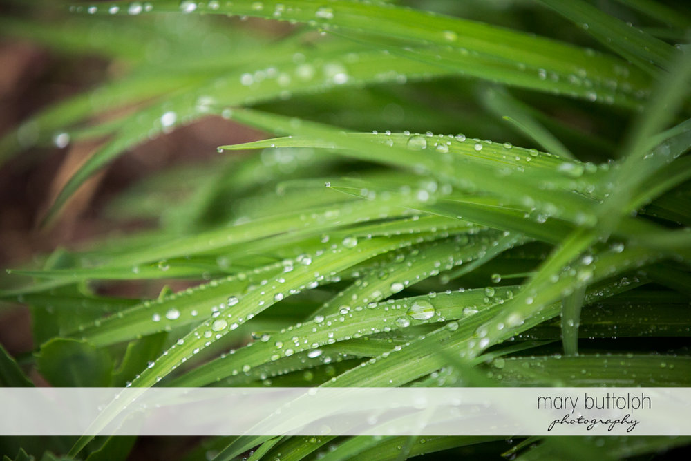 Dew forms on plants at the Hamilton Inn Engagement