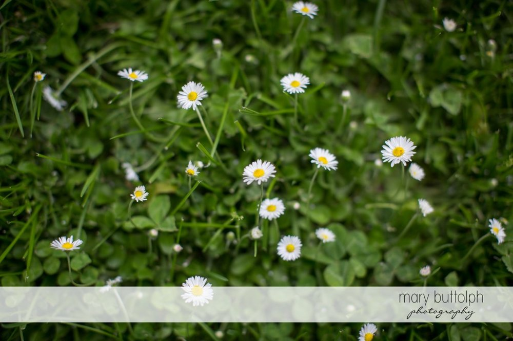 Daisies in the garden at Skaneateles Country Club Wedding