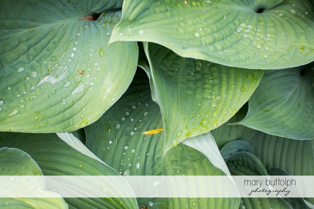Dew drops on green plants at the Mirbeau Inn & Spa Wedding