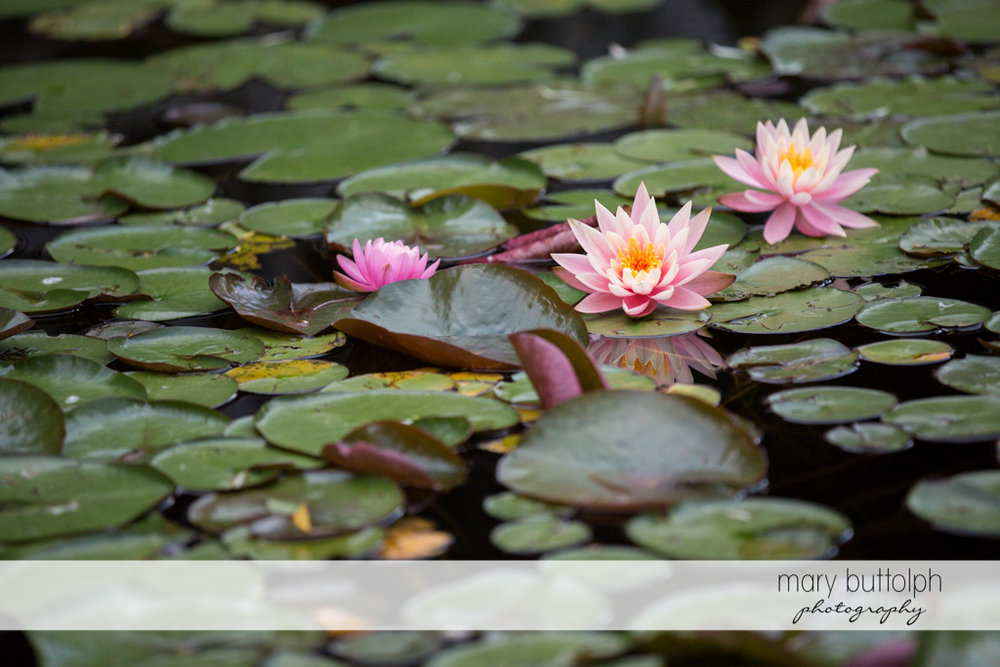 Water lilies with pink flowers at the Mirbeau Inn & Spa Wedding