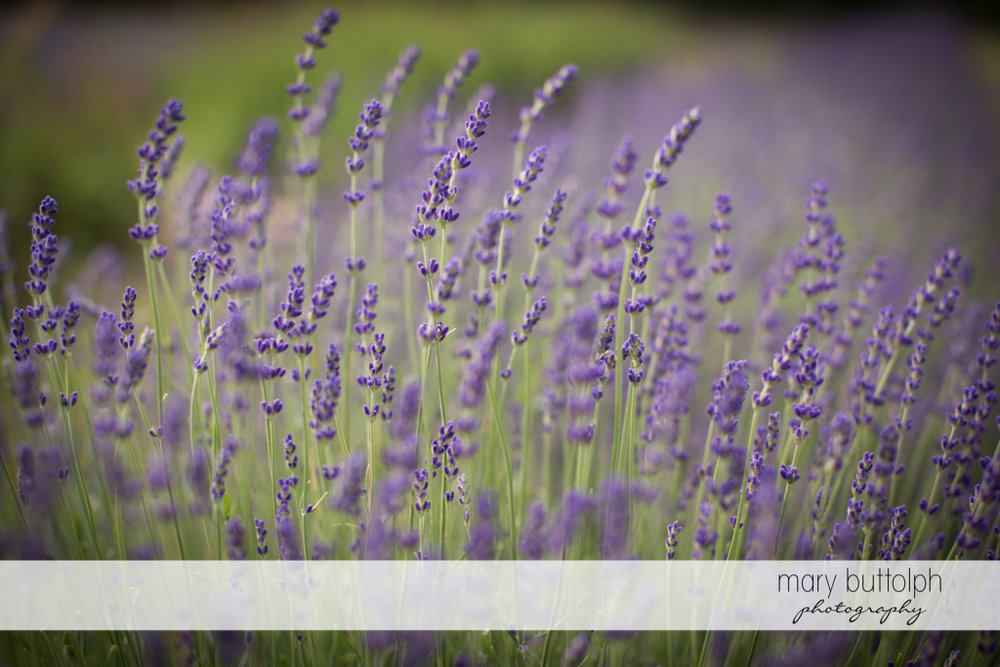 Lavenders in the garden at the Sherwood Inn Wedding