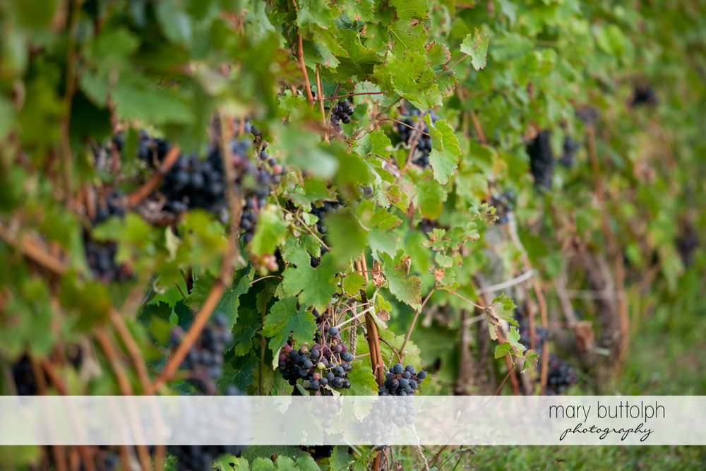 Grapes ripe for picking at Anyela's Vineyards Wedding