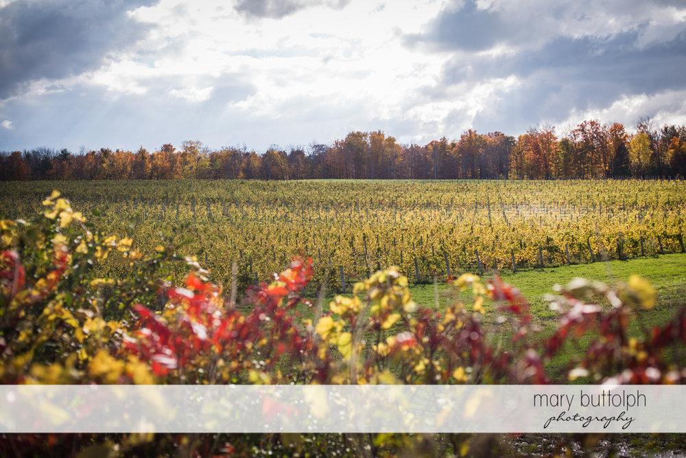 Long shot of the vineyards at Anyela's Vineyards Wedding