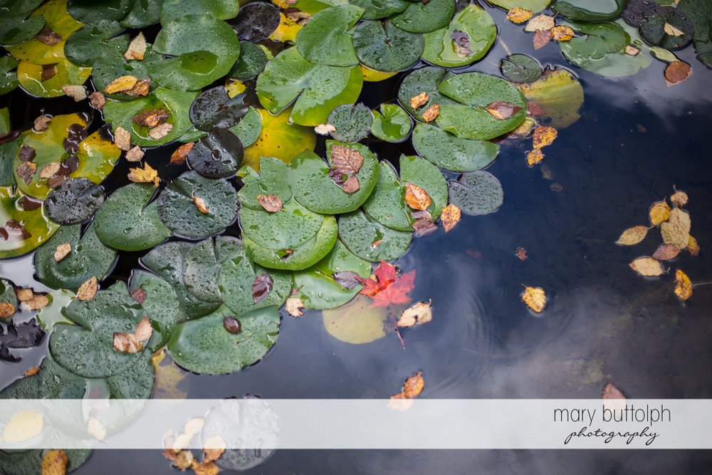 Water lilies on the lake at Skaneateles Country Club Wedding