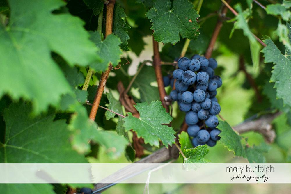 Close up shot of a bunch of grapes at Anyela's Vineyards Wedding