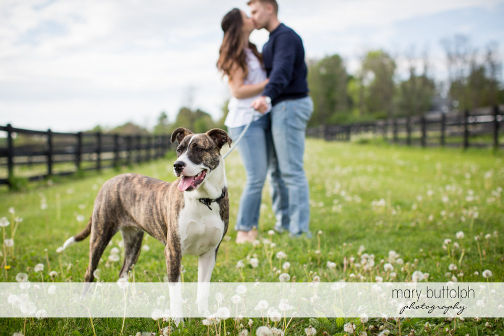 Couple kiss in the garden accompanied by their dog at Hobbit Hollow Engagement