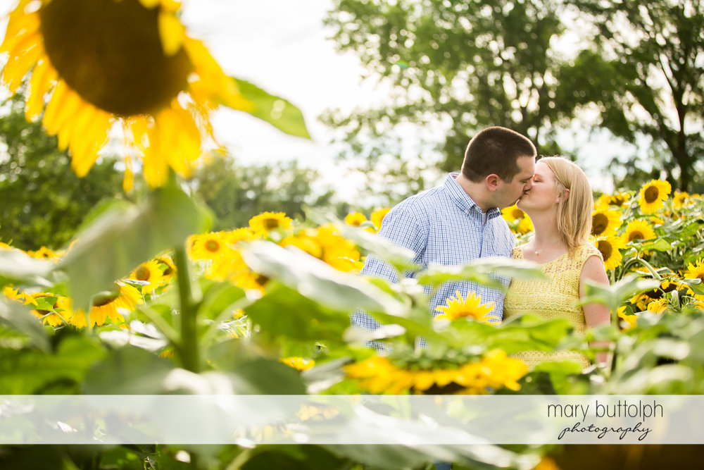 Couple kiss in the middle of a sunflower field in Syracuse Engagement