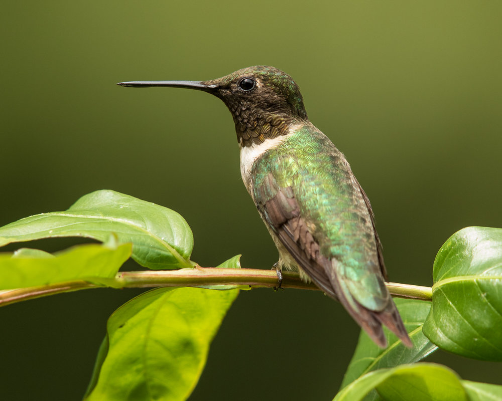 Ruby-throated Hummingbird, male - photo Vic Prislipsky