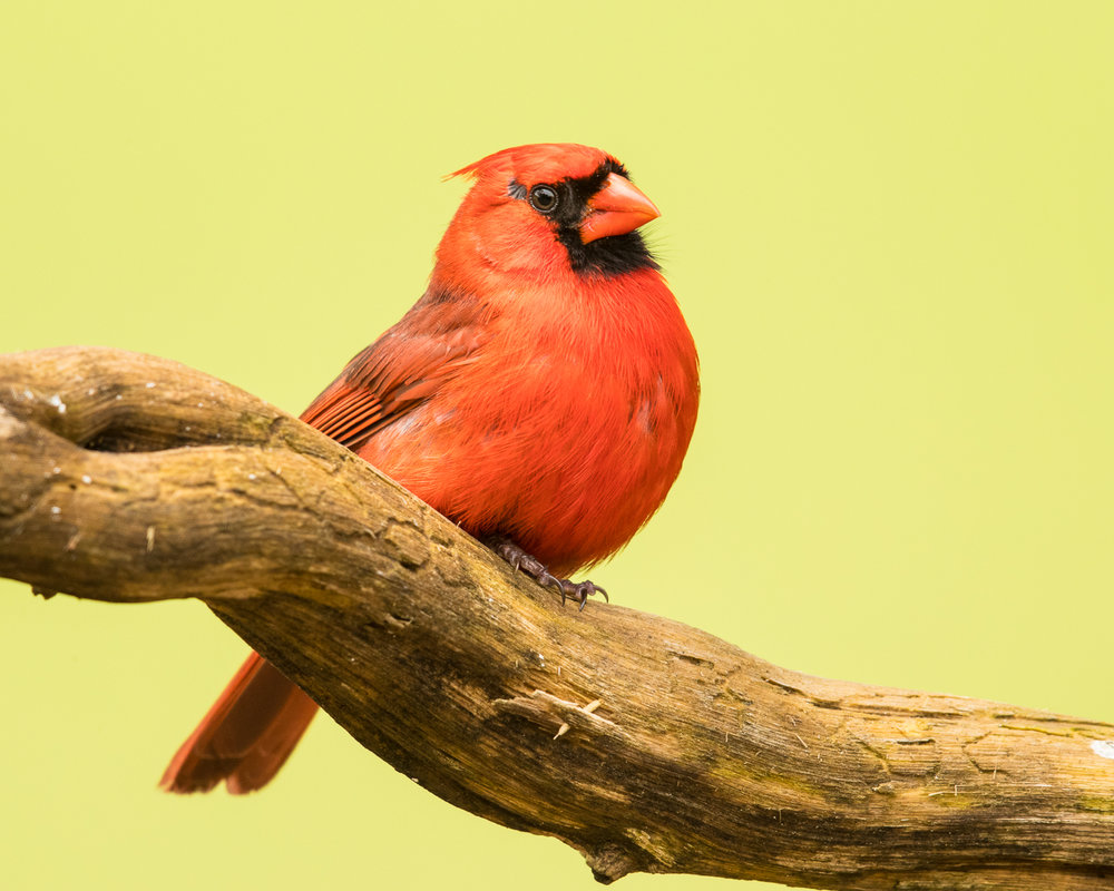Copy of Northern Cardinal, male