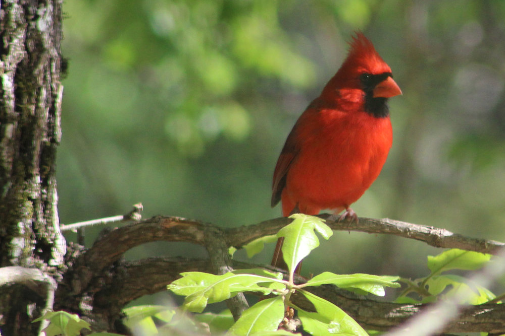 N. Cardinal, male