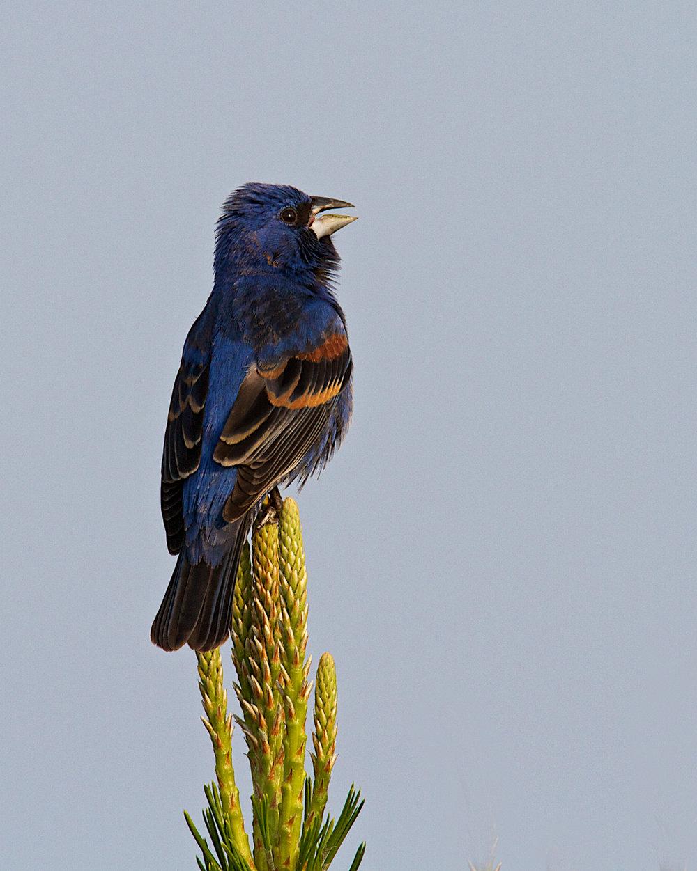 Copy of Blue Grosbeak, male