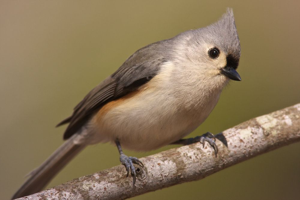 Copy of Tufted Titmouse