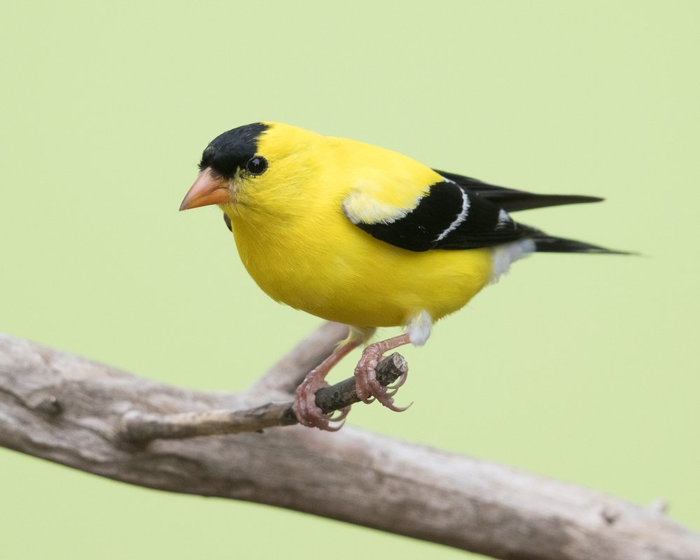 Copy of American Goldfinch