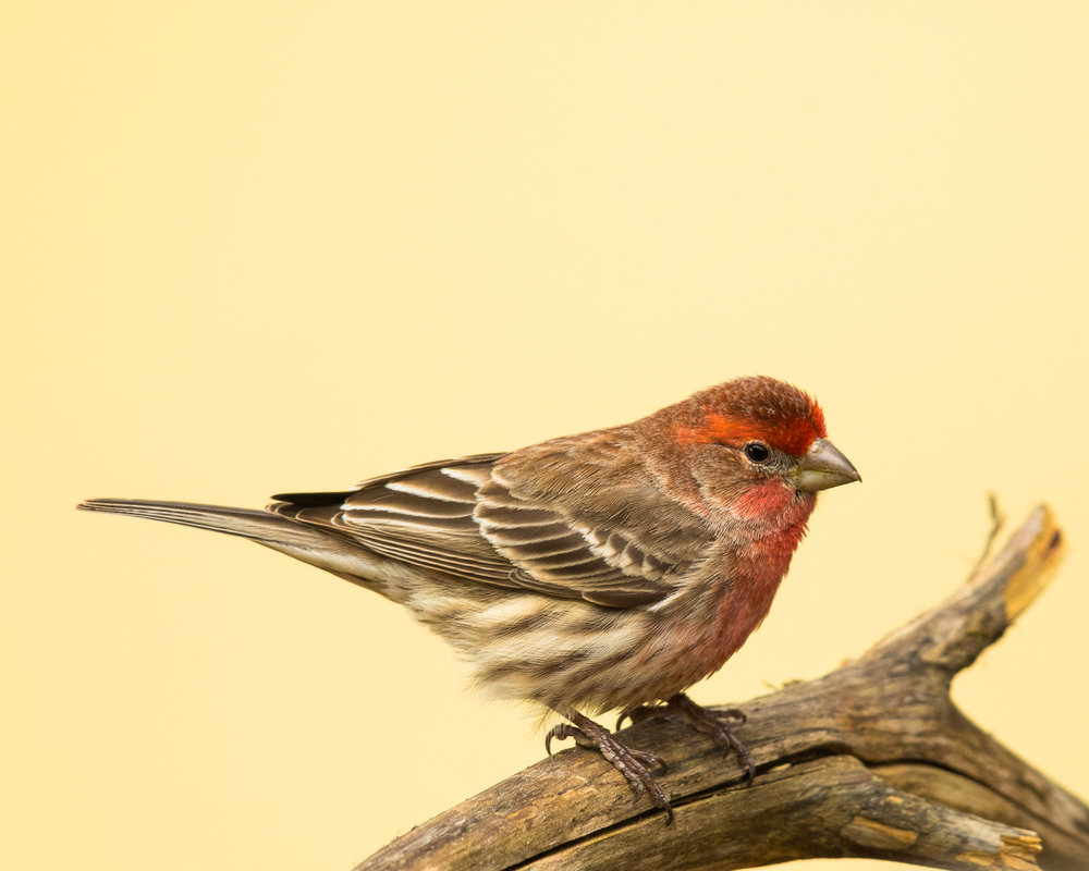 Copy of House Finch, male