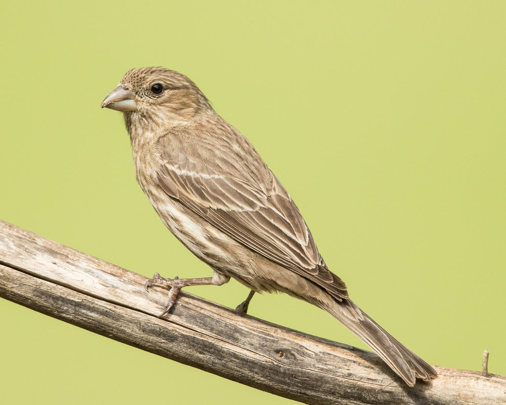 Copy of House Finch, female
