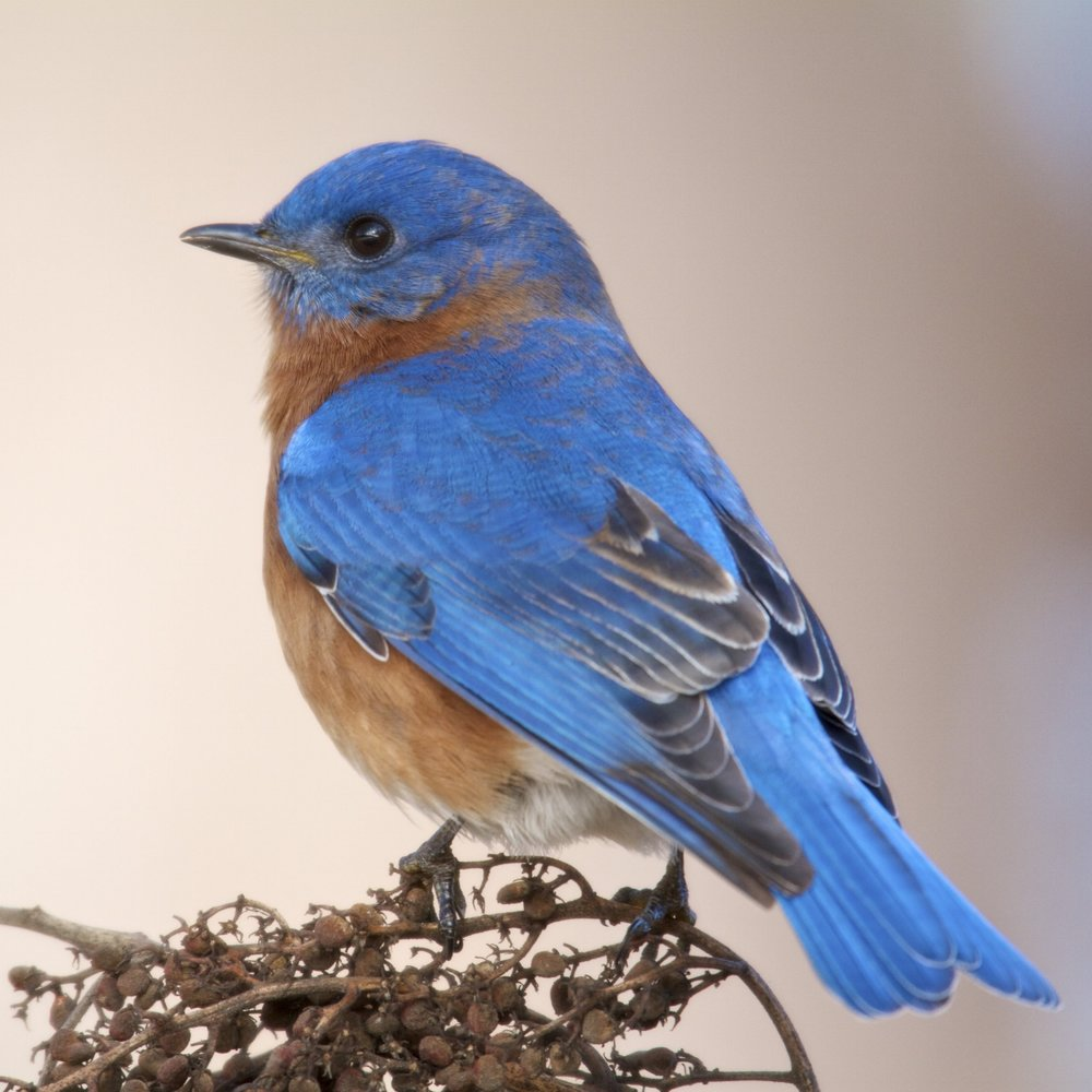 Eastern Bluebird, male -  Photo Vic Prislipsky