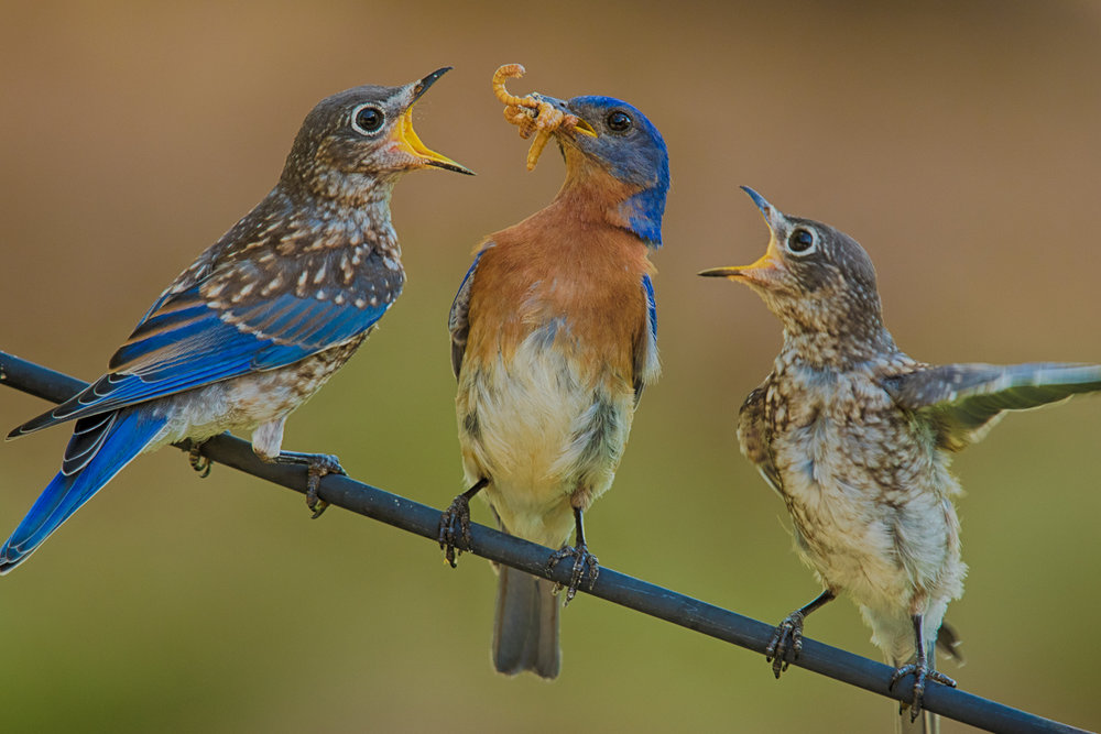 Always hungry bluebird babies.  Photos Vic Prislipsky