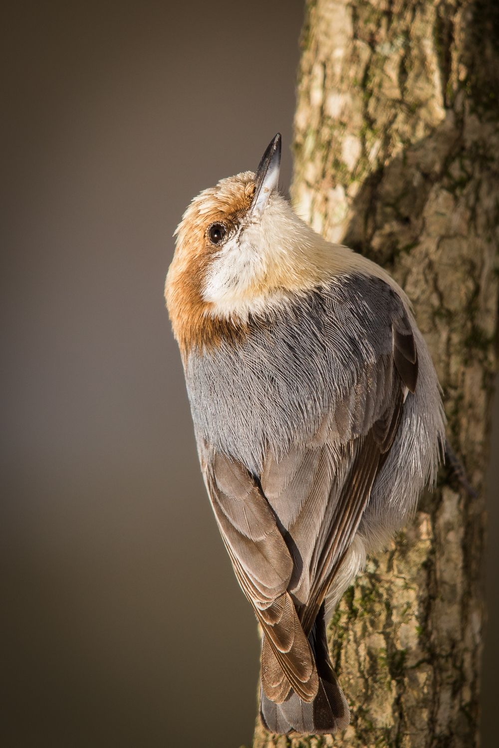 Copy of Brown-headed Nuthatch