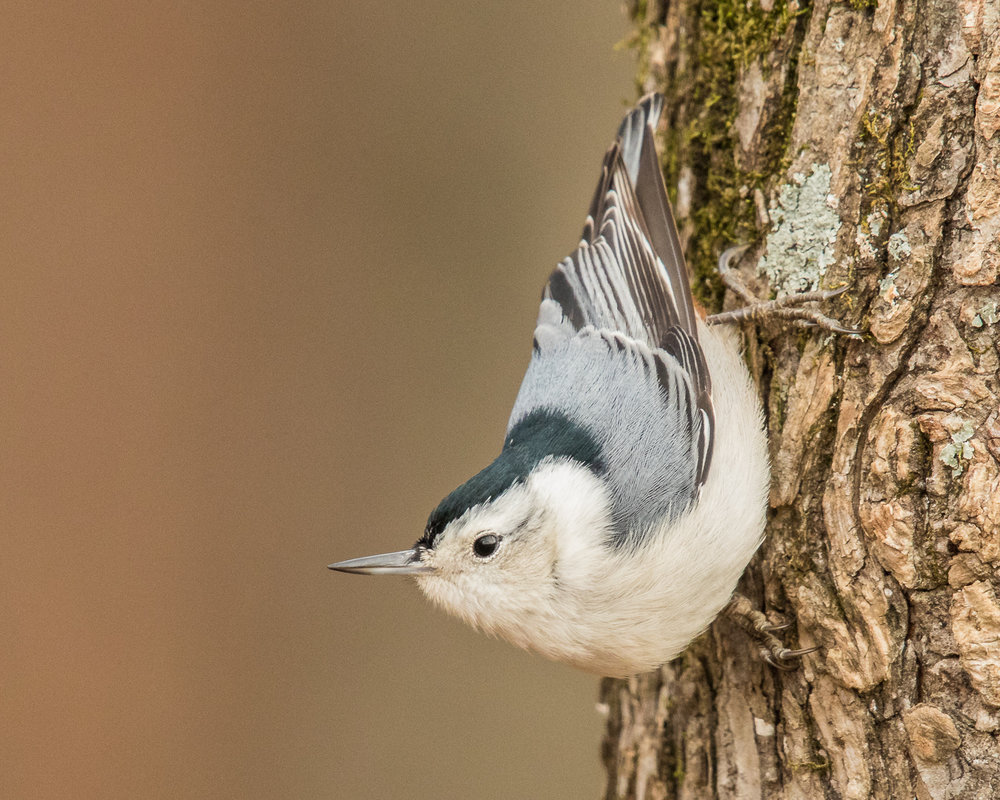 Copy of White-breasted Nuthatch