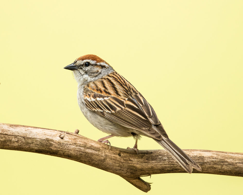 Copy of Chipping Sparrow