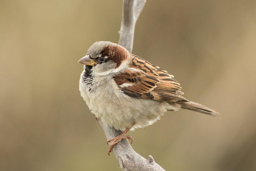Copy of House Sparrow