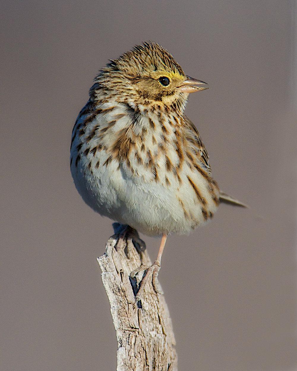 Copy of Savannah Sparrow