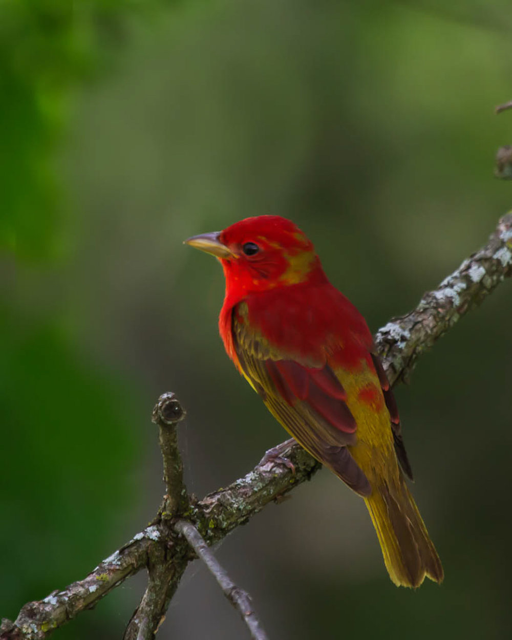 Copy of Summer Tanager, male