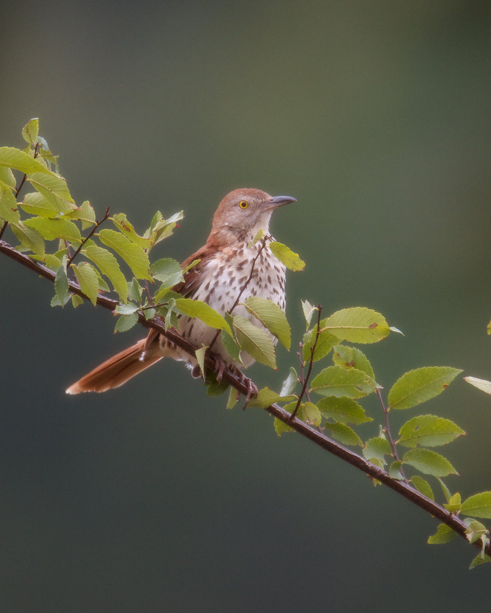 Copy of Brown Thrasher