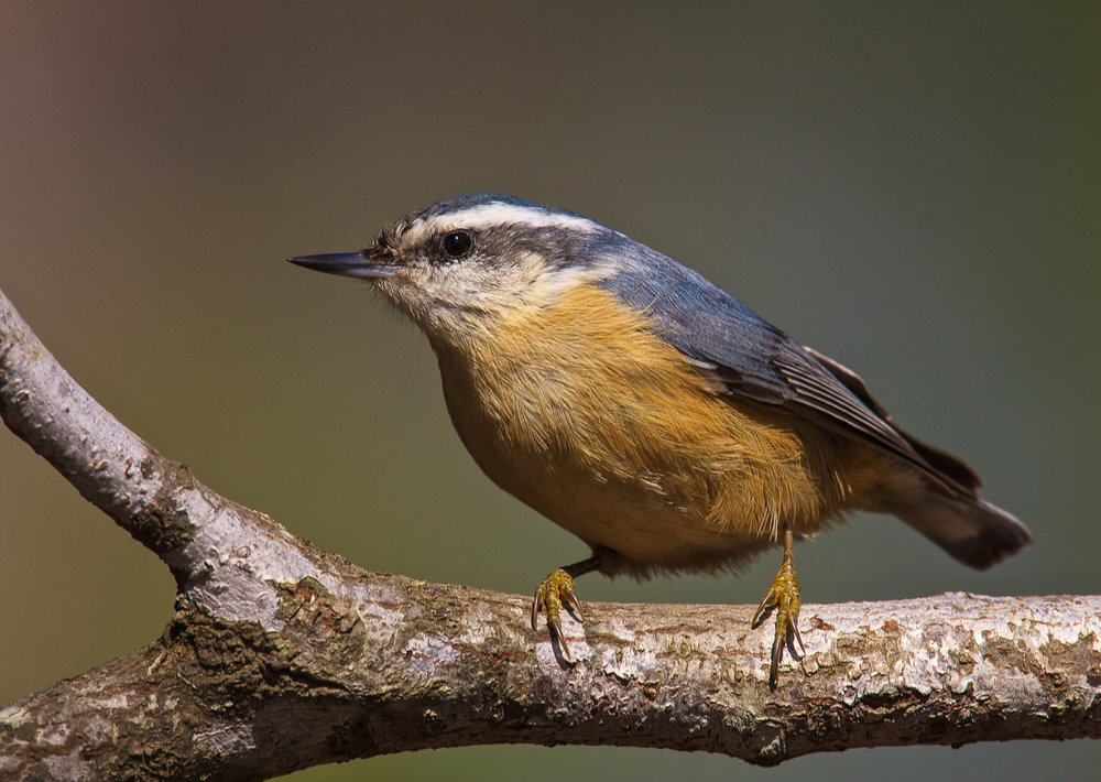 Copy of Red-breasted Nuthatch