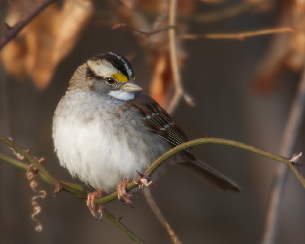 Copy of White-throated Sparrow
