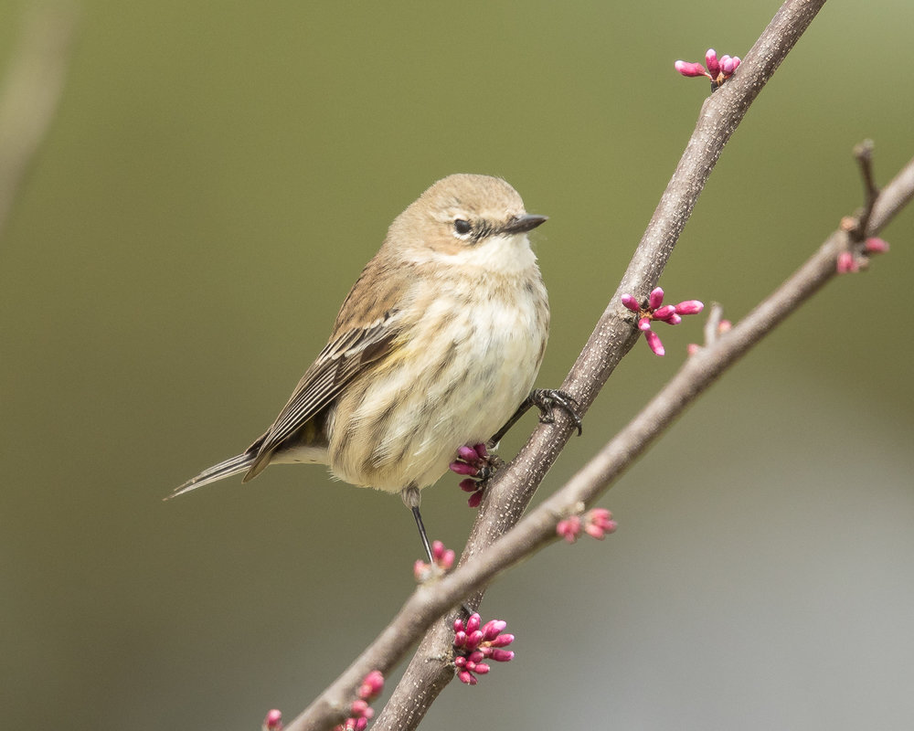 Copy of Yellow-rumped Warbler, female