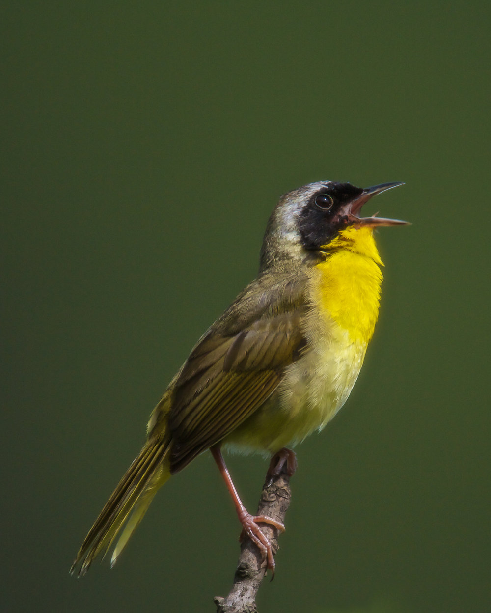 Copy of Yellow-throated Warbler