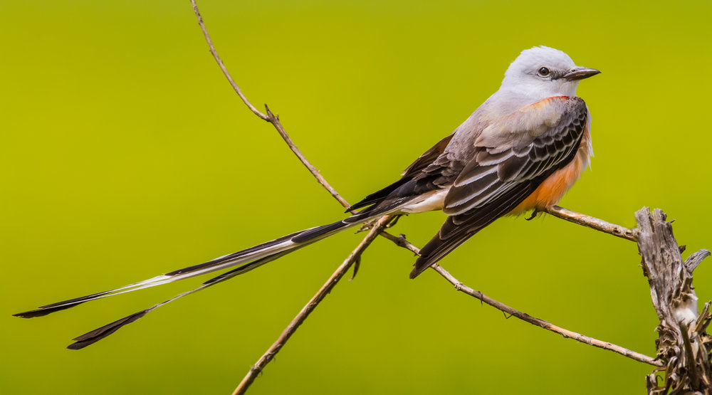 Sissortailed Flycatcher