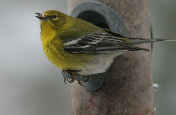 Copy of Pine Warbler